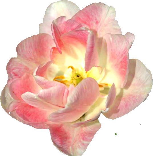 Güller gül animasyonlar oynayan güller en güzel çiçekler